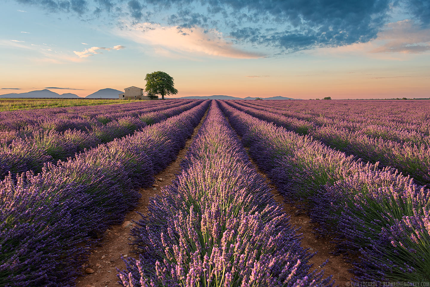 At sunrise, the colors of the lavender fields in Valensole France are absolutely spectacular.